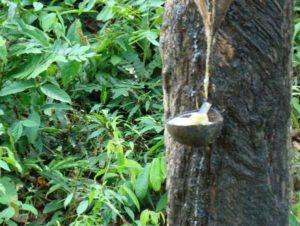 Добыча натурального каучука